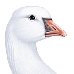 Ross's Goose Head Illustration