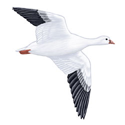 Ross's Goose Flight Illustration