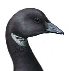 Brant Head Illustration