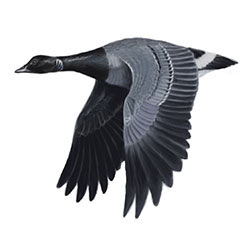 Brant Flight Illustration