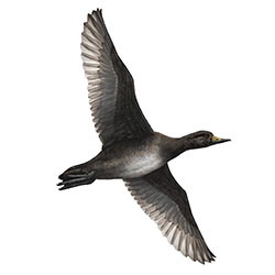 Black Scoter Flight Illustration