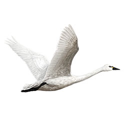 Tundra Swan Flight Illustration.jpg