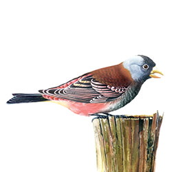Gray-crowned Rosy-Finch Body Illustration