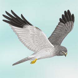 Norther-Harrier Flight Illustration