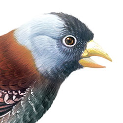 Gray-crowned Rosy-Finch Head Illustration