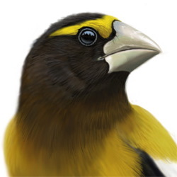 Evening Grosbeak Head Illustration