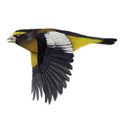 Evening Grosbeak Flight Illustration