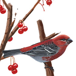 Pine Grosbeak Body Illustration