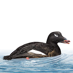 White-winged Scoter Body Illustration