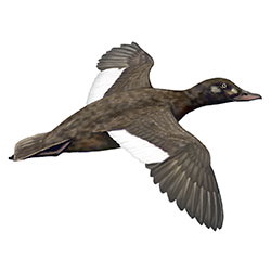 White-winged Scoter Flight Illustration