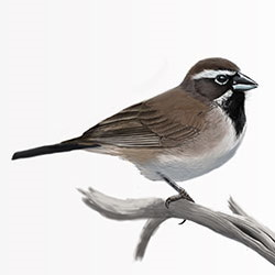 Black-throated Sparrow Body Illustration