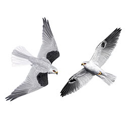 White-tailed Kite Flight Illustration.jpg