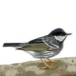 Blackpoll Warbler Body Illustration