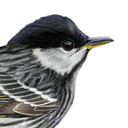 Blackpoll Warbler Head Illustration