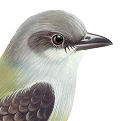 Cassin's Kingbird Head Illustration