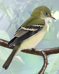 Acadian Flycatcher Thumbnail Largest