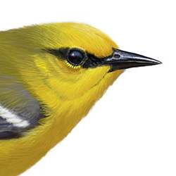 Blue-winged Warbler Head Illustration