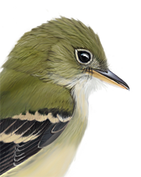 Acadian Flycatcher Thumbnail Head Largest