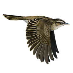 Aquatic Warbler Flight Illustration