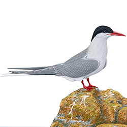 Arctic Tern Body Illustration