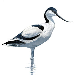 Avocet Body Illustration