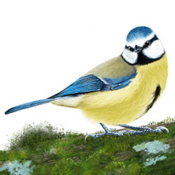 Blue Tit Body Illustration