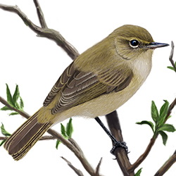 Chiffchaff Body Illustration