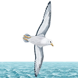 Fulmar Body Illustration