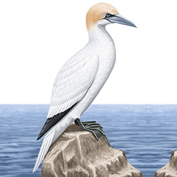 Gannet Body Illustration