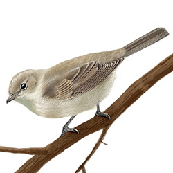 Garden Warbler Body Illustration