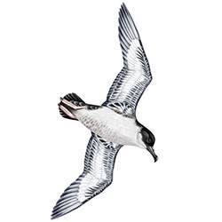 Great Shearwater Body Illustration