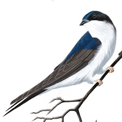 House Martin Body Illustration