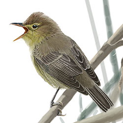 Icterine Warbler Body Illustration