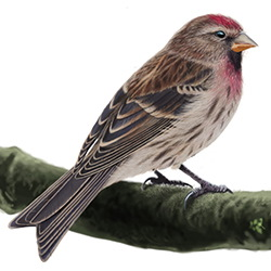 Lesser Redpoll Body Illustration