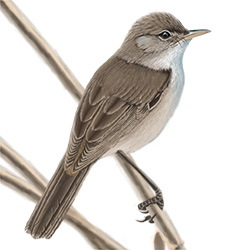 Reed Warbler Body Illustration