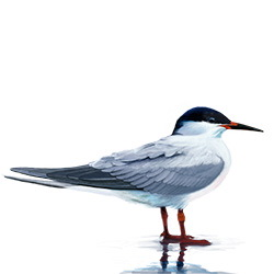 Roseate Tern Body Illustration.jpg