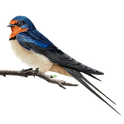 Swallow Body Illustration