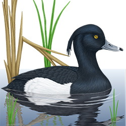 Tufted Duck Body Illustration