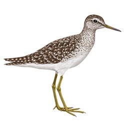Wood Sandpiper Body Illustration
