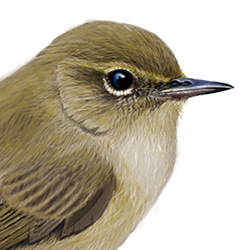 Chiffchaff Head Illustration