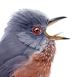 Dartford Warbler Head Illustration.jpg