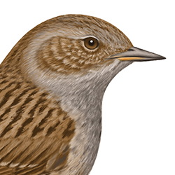 Dunnock Head Illustration