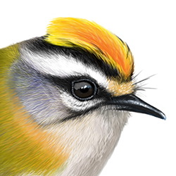 Firecrest Head Illustration