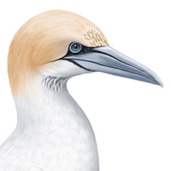 Gannet Head Illustration