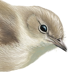 Garden Warbler Head Illustration