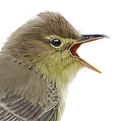 Icterine Warbler Head Illustration