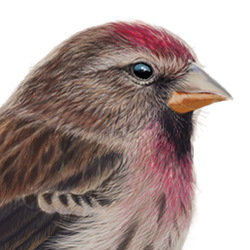 Lesser Redpoll Head Illustration