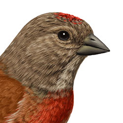 Linnet Head Illustration