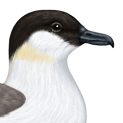 Long-tailed Skua Head Illustration