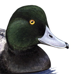 Scaup Head Illustration
